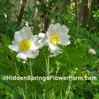 Paeonia anomala veitchii alba Rare white flowered form of a small growing woodland edge peony.