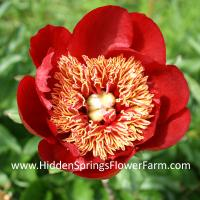 Japanese Form Red Hybrid Peony Walter Mains