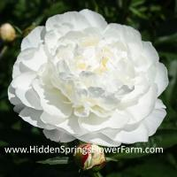 Peony White Frost