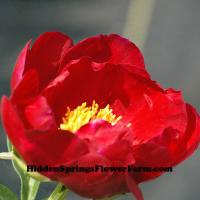 Rare Saunders Hybrid Peony Your Majesty