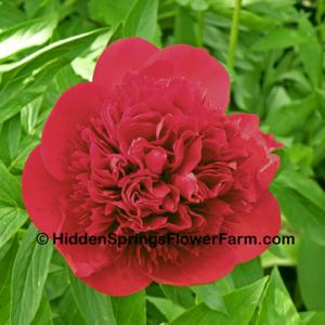 Peony Aristocrat Brilliant red double hybrid.