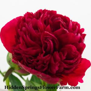 Peony Diana Parks Fragrant Sold Out