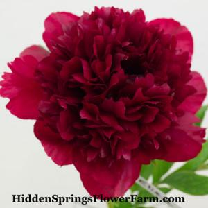 Peony Eliza Lundy compact growing double early blooming vibrant red hybrid.