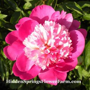 Peony Gay Paree Award winning fragrant Japanese form.