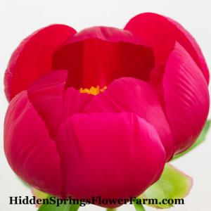 Peony Golden Glow Award winning large red single early blooming hybrid peony