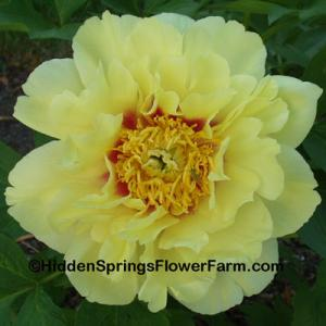 Award of Landscape Merit Bright Yellow Itoh Peony Prairie Charm