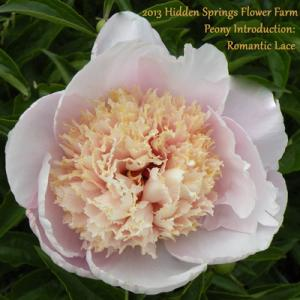 New 2013 Introduction Romantic Lace Peony