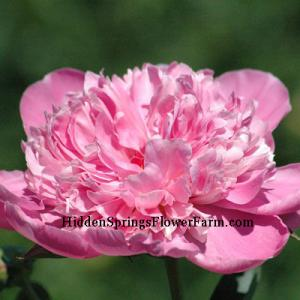 Fragrant Pink Peony Alexander Fleming