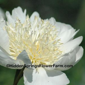 Marble White Peony Cararra