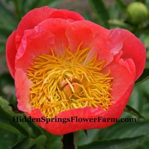 Peony Coral N Gold large flowered coral hybrid peony