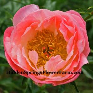 Peony Coral Sunset is large and has a wider range of colors in the bloom.