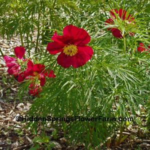 Rare Saunders Fern Leaf Hybrid Peony Early Bird