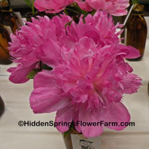 Hard to find Peony Easy Lavender