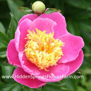 Peony Frank Newbold a compact growing strong stemmed Japanese form peony.