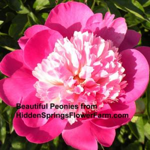 Enjoy beautiful peonies from Hidden Springs Flower Farm.