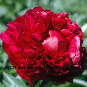 Fragrant Double Red Hybrid Peony Henry Bockstoce