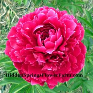 Peony Henry St. Clair red double peony.