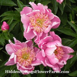 Peony Imperial Divinity long stemmed pink Japanese peony is a great cut flower.