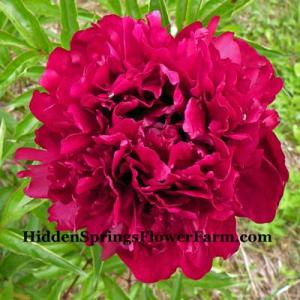 Peony Judy Becker with glowing red glossy blooms.