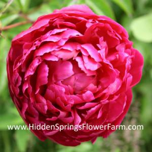 Classic Red Double Peony Karl Rosenfield