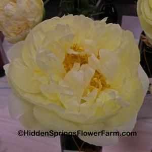 Fertile Yellow Breeder Peony Lemon Chiffon