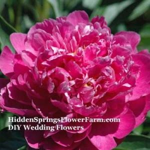 Dark Pink DIY Wedding Peonies from HiddenSpringsFlowerFarm.com