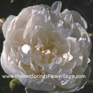 French Antique White  Double Peony Marie Jacquin