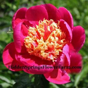 Peony Mikado a delightful pink Japanese is a vigorous bloomer