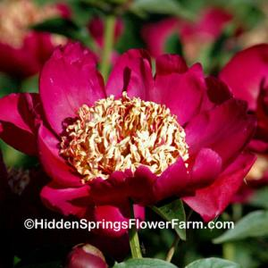 Red Japanese Form Peony Nippon Beauty
