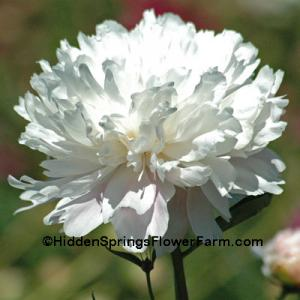 Double White Peony Old Lace