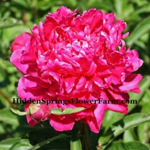 Large flowered Peony President Roosevelt is very popular