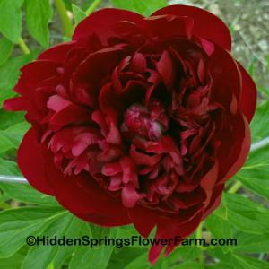 Rare Red Hybrid Peony Red Glory
