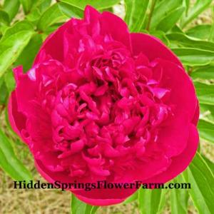 Early blooming red lactiflora Peony Royal Charter