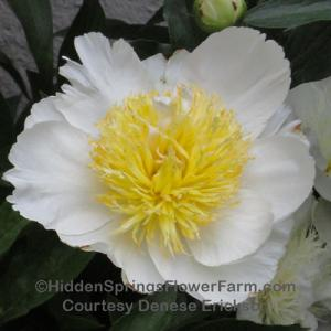 Fragrant Huge White Japanese Form Peony Violet Dawson