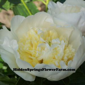 Very Fragrant Peony White Sands